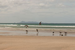 Taking off seagulls at Pakiri Beach Stock Photography