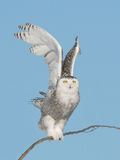 Taking off snowy owl stock image