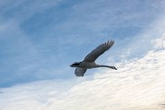 Taking off from the water against the sky and clouds in Odense, Denmark stock images