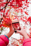 Taking a photo of brilliant red autumnal tree. With smartphone Royalty Free Stock Image