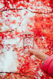 Taking a photo of brilliant red autumnal tree. With smartphone Royalty Free Stock Photo
