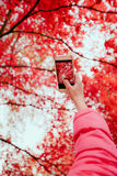 Taking a photo of brilliant red autumnal tree. With smartphone Royalty Free Stock Images