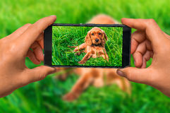 Taking photo of english cocker spaniel with mobile phone royalty free stock image