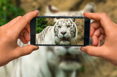 Taking photo of White Tiger with mobile phone stock photo