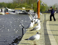 Taking photos with seagulls Royalty Free Stock Photos