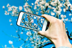 Taking a picture of an almond tree in full bloom Stock Photography