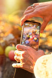Taking picture autumnal fruit by mobile phone. Outdoors stock photo