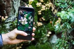 Taking a picture of mushrooms with a smart phone stock image
