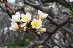 Plumeria tree in the garden. Taking picture Plumeria flowers in close up Royalty Free Stock Photos