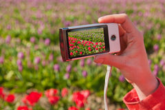 Taking pictures in Holland. Taking pictures in the Dutch flower fields Stock Images