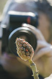 Taking pictures of Magnolia grandiflora seeds Royalty Free Stock Photo