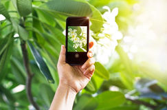 Taking pictures white flower with mobile smart phone in the nature. Background Royalty Free Stock Image
