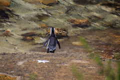 Taking the plunge. Jackass penguin diving into the water Stock Photography