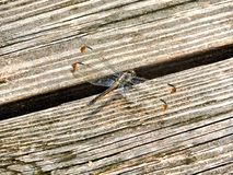Taking a Rest. Dragonfly resting on a dock. Brown and golden. Macro shot at nature Stock Image