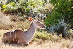 Taking a Rest - Greater Kudu - Tragelaphus strepsiceros Stock Images