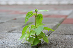 Taking root. Young plant taking root on a concrete footpath stock images