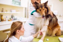 Sick dog at pet ambulance, team of veterinarian taking sample for analize. Taking a sample of blood from dog for analysis, sick dog at pet ambulance royalty free stock image