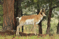 Taking Shelter From the Rain. Pronghorn antelop sheltering under the pine trees in a rain storm Royalty Free Stock Photo