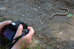 Taking a shot of a blind-worm Royalty Free Stock Photo