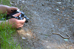 Taking a shot of a slow-worm Royalty Free Stock Photography
