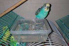 Taking a shower parakeet stock image