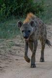 Taking a stroll. Hyena strolling down a dirt road Stock Photo