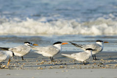 Taking in the sun. Royal terns on beach royalty free stock photos