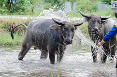 Takint de Buffalo un bain Photo stock