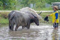 Takint de Buffalo un bain Photographie stock