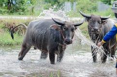Takint della Buffalo un bagno Fotografia Stock