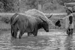 Takint della Buffalo un bagno Fotografia Stock Libera da Diritti