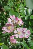 Takje roze rozen laten Rosa mötte delikata bloemblaadjes Arkivfoton