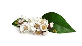 Takje tot bloei komende abrikoos. Royalty-vrije Stock Foto