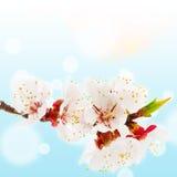 Takje tot bloei komende abrikoos Royalty-vrije Stock Foto's