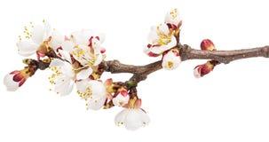 Takje tot bloei komende abrikoos Stock Afbeelding