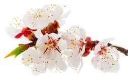 Takje tot bloei komende abrikoos Royalty-vrije Stock Afbeeldingen