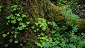 Takje van een klaver in het midden van een oud bos stock afbeelding