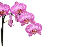 Takje van roze die orchidee op wit wordt geïsoleerd Phalaenopsis Royalty-vrije Stock Foto