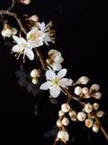Takje van Sleedoornbloemen, weerspiegeld studioschot Prunusspinosa stock fotografie