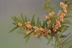 Takje van taxushout met mannelijke bloemen Taxus-Baccata Stock Fotografie