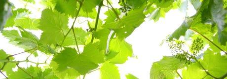 Takje van wijnstok op een witte achtergrond Royalty-vrije Stock Foto