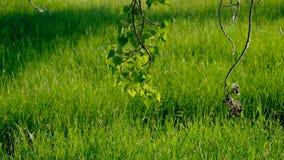 Takje van zich berk het hangen neer tot gras en het bewegen op wind stock footage