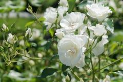 Takje witte rozen laten Rosa mötte delikata bloemblaadjes Arkivfoton