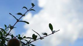 Takjes en bladeren van granaatappelboom stock afbeeldingen