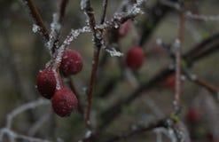 Takjes en rode bessen in de winter in de koude Stock Afbeelding