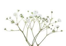 Takjes met bloemen van Gypsophila op witte achtergrond wordt geïsoleerd die royalty-vrije stock foto's