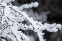 Takken die met de vorst van het sneeuwclose-up, sneeuwstorm, blizzard worden behandeld stock foto