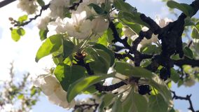 Takken die van bloeiende appel door de wind slingeren stock video