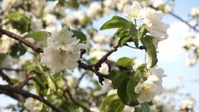Takken die van bloeiende appel door de wind slingeren stock videobeelden