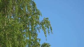 Takken en bladeren van berk in de wind stock footage